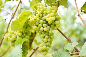 3 Propiedades y beneficios de las uvas para la salud